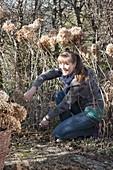 Cutting back shrub hydrangeas in spring