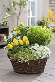 Spring basket with Tulipa 'Yellow Flight', Euonymus japonicus