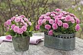 Primula 'Romance' in metal Gefaessen on garden table
