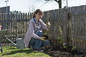 Woman planting berry bushes bed on fence