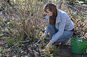 Woman fertilizing shrubs in spring and works the fertilizer into the soil