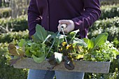 Plant the bed in the organic garden with lettuce, kohlrabi, horned violet and parsley