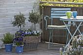 High wicker basket planted with Olea europaea, Viola