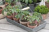 Tomato seedlings in clay pots on zinc basket