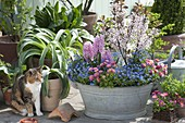 Old zinc tub planted with spring bloomers
