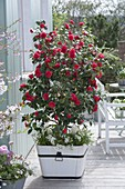 Camellia japonica 'Flame' in white wooden tub, underplanted