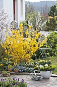 Flowerbed with Forsythia 'Lynwood Gold', Myosotis