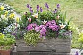 Wooden box with Primula 'Romance' (filled primrose), Lobularia
