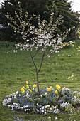 Sour cherry 'Schwäbische Weinweichsel' underplanted