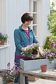 Plant box with Gaura 'Lillipop Pink' and Petunia Calimero 'Candy'