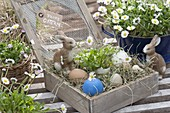Easter nest of hay in wooden box with lid, bellis perennis