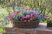 Flat basket planted with Bellis and Myosotis 'Myomark'