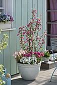 Ribes sanguineum 'Red Bross', Ranunculus