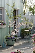 Terrace with Prunus 'Accolade' in the wooden tub, underplanted