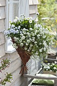 Selfmade hanging basket planted with white willow