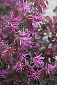 Loropetalum chinense 'Fire Dance', fragrant container plant