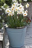 Narcissus tazetta 'Geranium' (Narcissus) in an enamel bucket