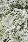 Spiraea x arguta (bridal pines, snow spears)