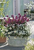 Old zinc bathtub planted with Erysimum 'Winter Orchid'