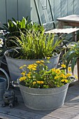 Old zinc buckets as mini ponds on the terrace