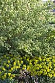 Lonicera xylosteum (honeysuckle) with euphorbia (milkweed)