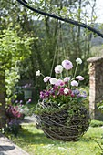 Willow ball planted in hanging basket, Ranunculus, Bellis