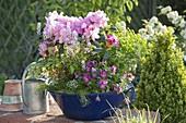 Blue enamel bowl with rhododendron yakushimanum 'Polaris'