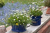 Blue enamel pots planted with meadow, Bellis perennis
