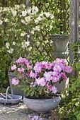 Rhododendron yakushimanum 'Silver Cloud' (Alpenrose)