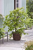 Fagus sylvatica 'Tortuosa' (Suentel beech, hanging request) in basket
