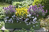 Green wooden box with Erysimum Poem 'Lavender', Genista