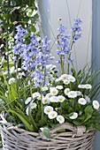 Basket with Scilla hyacinthoides, Bellis
