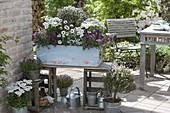 Purple and white patio verge, Lobularia 'Princess in Purple'