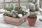 Cacti in clay bowl and pots, Echeveria, Mammillaria