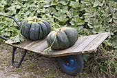 Freshly Harvested Gourds 'Muscat De Provence' (Cucurbita)