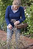 Harvest radish seeds