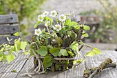 Maiengrün wild strawberry, pot covered with branches, branch