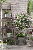 Pelargonium 'Pink Champagne' (Duftgeranie) Staemmchen unterpflanzt