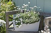 Wooden box with Chrysanthemum hosmariense 'African Eyes'