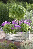 Zinc tub planted with herbs and carnations-Dianthus gratianopolitanus