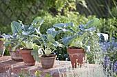 Kohlrabi (Brassica) in clay pots on garden wall