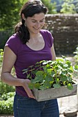 Woman with young Tropaeolum plants in wooden box