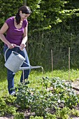 Plant tomatoes in the vegetable patch