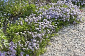 Flowering cascade thyme (Thymus longicaulis ssp. Odoratus)