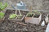 Planting kohlrabi and salad seedlings in the raised bed
