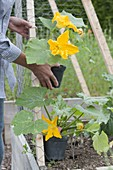Flowering climbing zucchini 'Black Forest'