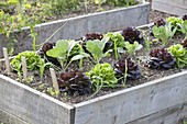 Raised bed of Salanova salads, cabbage and onions