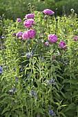 Flowering Paeonia in the perennial garden, Centaurea montana