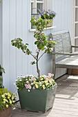 Malus 'Evereste', stem planted with Bellis