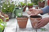 Sowing one-year-old marjoram (Majorana hortensis) in clay pots